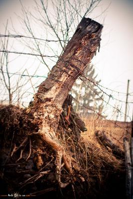 Деревья умирают стоя.. дерево смерть проволка