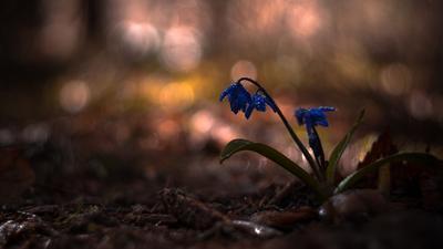 Blue весна цветок макро