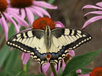 Махаон бабочка, природа