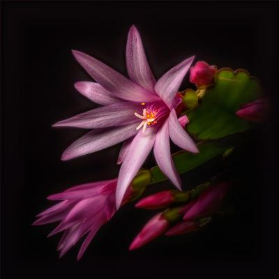 Апрельский декабрист-2. цветы макро