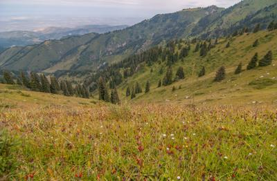 Джайляу (Заилийский Алатау) Казахстан Алатау цветы