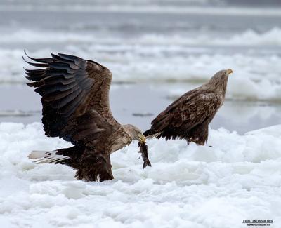 Не подходи ко мне Я обиделась, я обиделась... Орлан белохвост река Волга Астрахань