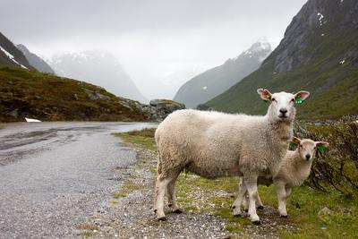 Хозяева норвежских долин Norway, Stryn, sheeps