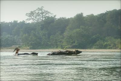 ... под зОнтом... Непал, Nepal, Читван, Chitwan, зонт, буйвол