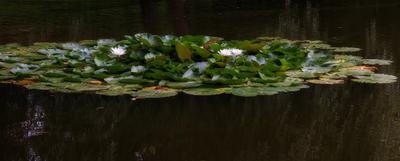 Есть в старом парке черный пруд, там лилии цветут...