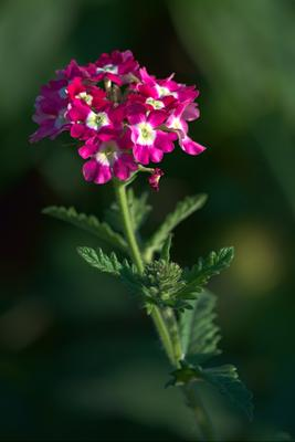 Verbena. Verbena цветы
