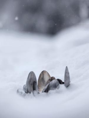 подснежники зимой