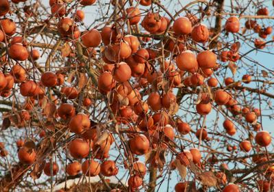 прошлогодний урожай зима яблоки