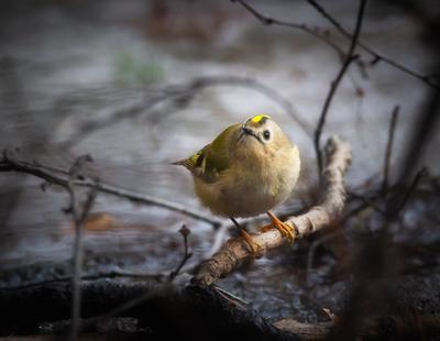 *** птица королёк фотоохота