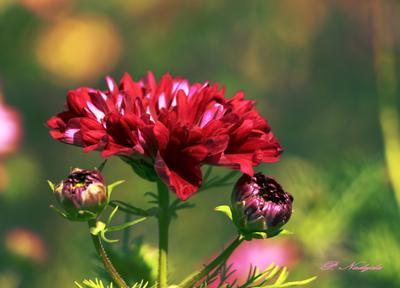 Краски лета.. цветы космея