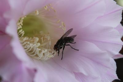 Муха-цокотуха насекомые муха цветы