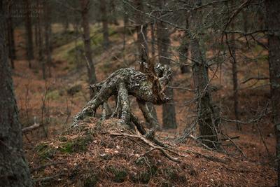 Там, на неведомых дорожках... природа лес бор пень пейзаж осень сказки