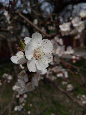 Абрикосовый цвет Весна цветок нежность