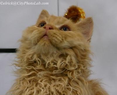 Гордость котенок кот кошка селкирк рекс Selkirk Rex Kitten TICA Cat Show