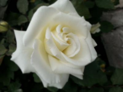 ***Белая розы... Белая роза.