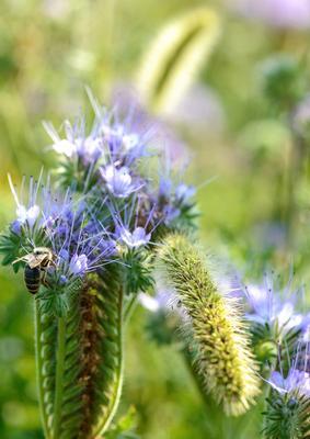 Пчёлка... Лето август цветы пчела