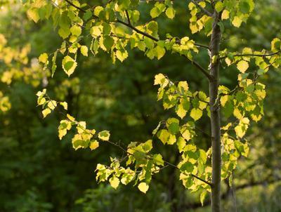 Осинка на закате природа осина солнечный свет весна