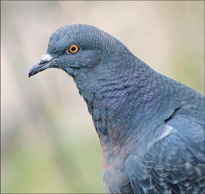 Портрет голубя голубь Columba livia птица голубица
