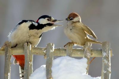 Воспитательная беседа.. птицы восточной сибири большой пёстрый дятел воробей сюжет