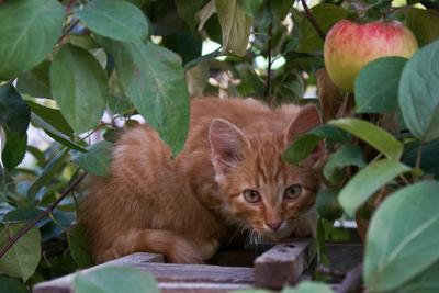 Рыжик и яблоко. кот кошка котенок яблоко яблоня