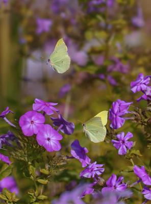 Флоксы и бабочки флоксы бабочки