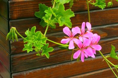 Розовый цветочек Розовый цветок лето