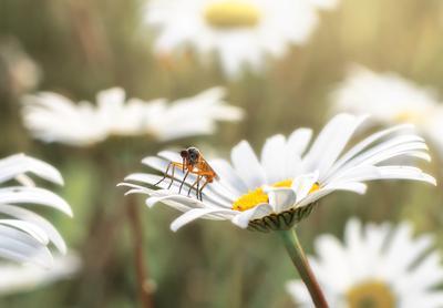 Комарик комар ромашки цветы лето