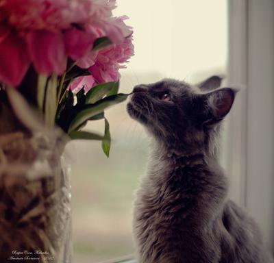~замуррчательный букет~ кот,Kalvados. RespectCoon