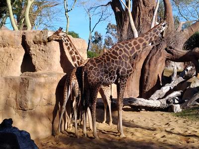 Понятно кто Жирафы