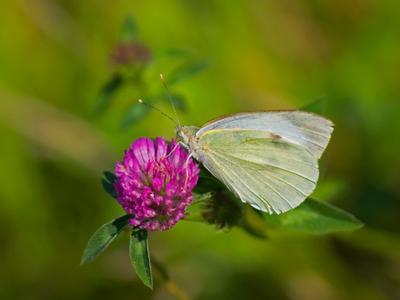 ах, лето лето природа клевер бабочка