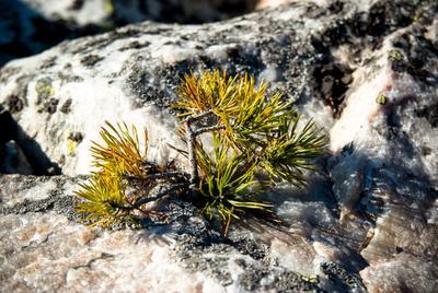 И на камнях растут деревья природный парк Таганай Каменная река Южный Урал жизнь на камнях