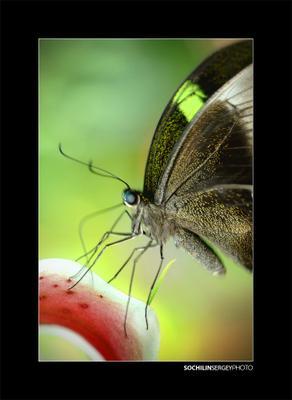 Красное Притяжение бабочка