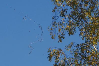 Вот и осень пришла! журавли осень небо клин дерево берёза