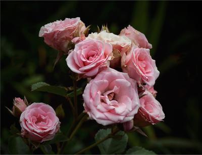 *** розы цветы цветение