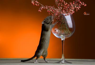 А запах.....))) Крысы дамбо