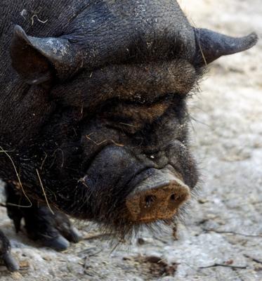Я не буйвол, не шарпей ... свинка