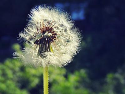 Одуванчик цветы одуванчик лето макро