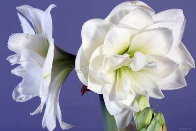 Amaryllis  цветы
