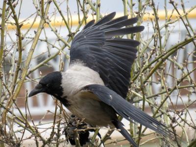 Кар-кар! птицы ворона весна