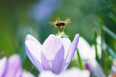 Трудяга весна цветы крокус пчела макро белый синий голубой мед запах солнце счастье sun light macro blue white nature flower crocus bee honey spring