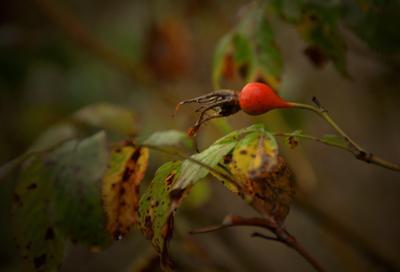 Приметы осени осень плоды шиповника