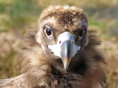 Взгляд стервятник птица взгляд перья