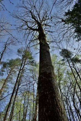 Там где деревья растут до неба.