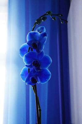 Орхидея орхидея цветы синий макро лето цветок