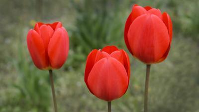 Три тюльпана...
