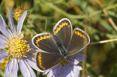 Голубянка голубянка бабочка лето цветы