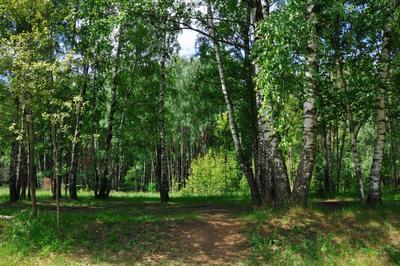 Летняя прохлада Лосиный остров лес березы лето тень