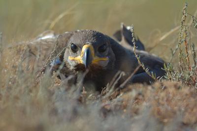 Степной орлик. лето степь гнездо степного орла