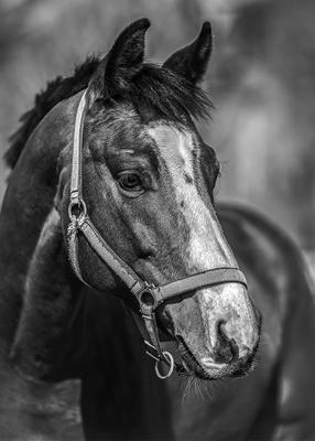 Портрет молодого коня Конь портрет