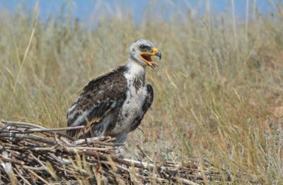 Степной орлик. лето гнездо степного орла